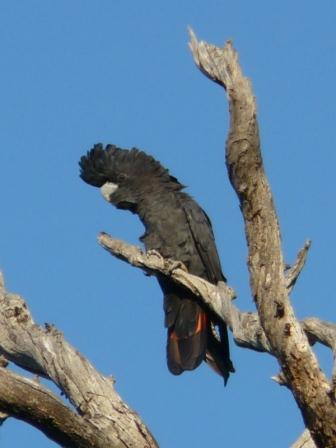 Threatened Forest Red-tailed Black Cockatoo (M Christensen)