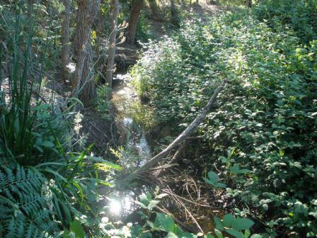 Native vegetation along a small brook at risk from blackberry invasion.